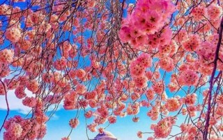 Japanese Cherry Blossoms - My Inspiratio